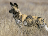 Wild Dog (Painted Hunting Dog) (Lycaon Pictus)  South Africa  Africa