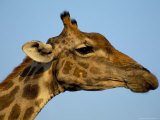 Head of a Giraffe (Giraffa Camelopardalis)  South Africa  Africa