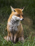 Red Fox  Vulpes Vulpes  Captive  United Kingdom