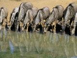 Blue Wildebeest (Connochaetes Taurinus) Drinking at Waterhole  Mkuze  South Africa  Africa