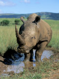 White Rhino (Ceratotherium Simum) Cooling Off  Itala Game Reserve  South Africa  Africa