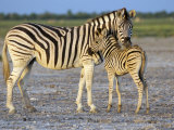 Burchell's Zebra (Equus Burchelli) with Foal  Etosha National Park  Namibia