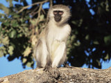 Vervet Monkey (Cercopithecus Aethiops)  Kruger National Park  South Africa  Africa