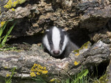 Badger Cub  Meles Meles  Captive  United Kingdom