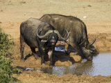 Cape Buffalo  Syncerus Caffer  at Water  Addo Elephant National Park  South Africa  Africa