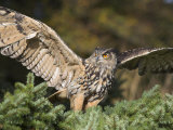 European Eagle Owl  Bubo Bubo  Female  Captive  World Owl Trust  Muncaster Castle  Cumbria