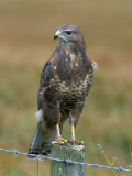 Captive Buzzard (Buteo Buteo)  United Kingdom