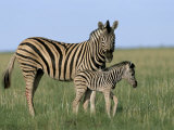 Burchell&#39;s (Plains) Zebra and Newborn Foal (Equus Burchelli)  Etosha National Park  Namibia  Africa