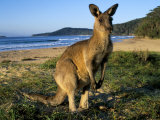Eastern Grey Kangaroo on Beach  Murramarang National Park  New South Wales  Australia