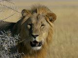 Lion (Panthera Leo)  Etosha  Namibia  Africa