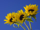 Three Sunflowers Blooms  Helianthus Annuus  United Kingdom