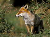 Captive Red Fox (Vulpes Vulpes)  United Kingdom