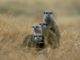 Meerkats (Suricates) (Suricata Suricatta)  Greater Addo National Park  South Africa  Africa