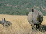 White Rhino (Ceratotherium Simum) Mother and Calf  Itala Game Reserve  South Africa  Africa