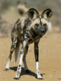 Wild Dog (Lycaon Pictus) in Captivity  Namibia  Africa