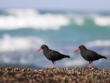 African Black Oystercatchers  De Hoop Nature Reserve  Western Cape  South Africa