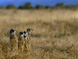 Meerkats (Suricates) (Suricata Suricatta)  Addo National Park  South Africa  Africa