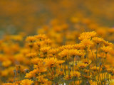 Namaqualand Daisies in Spring Annual Flower Display  Cape Town  South Africa
