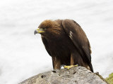 Golden Eagle  Aquila Chrysaetos  in Snow  Captive  United Kingdom