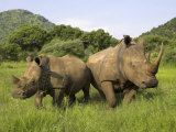 White Rhino  with Calf in Pilanesberg Game Reserve  South Africa