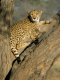 Cheetah (Acinonyx Jubatus) up a Tree in Captivity  Namibia  Africa