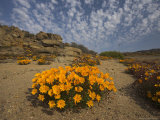 Annual Spring Wild Daisies  Namaqualand  Northern Cape  South Africa  Africa