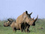 White Rhino (Ceratherium Simum) with Calf  Itala Game Reserve  South Africa  Africa
