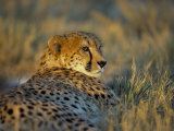 Captive Cheetah (Acinonyx Jubatus)  Namibia  Africa