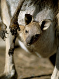 Eastern Grey Kangaroo (Macropus Giganteus) Joey in Pouch  New South Wales  Australia