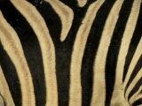 Close-Up of Zebra Skin  South Africa  Africa