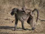 Chacma Baboon Carrying Young  Hluhluwe and Umfolozi Game Reserves  South Africa