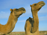 Arabian Camels (Camelus Dromedarius)  Feral in Outback  New South Wales  Australia