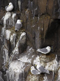 Kittiwakes on Nest  Larus Tridactyla  Isle of May  Fife  Scotland  United Kingdom