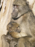 Chacma Baboon (Papio Cynocephalus) with Young  Kruger National Park  South Africa  Africa