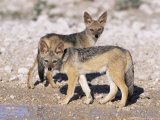 Young Blackbacked Jackals (Canis Mesomelas)  Etosha National Park  Namibia  Africa