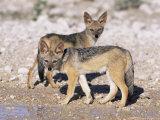 Young Blackbacked Jackals (Canis Mesomelas)  Etosha National Park  Namibia  Africa