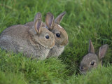 Young Rabbits (Oryctolagus Cuniculas)  Outside Burrow  Teesdale  County Durham  England