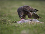 Buzzard Eating Rabbit  Buteo Buteo  Captive  United Kingdom