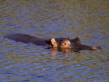 Common Hippopotamus (Hippopotamus Amphibius)  Kruger National Park  South Africa  Africa