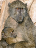 Chacma Baboon (Papio Cynocephalus) Nursing Infant  Kruger National Park  South Africa  Africa