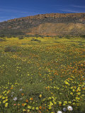 Annual Spring Wildlflower Carpets  Biedouw Valley  Western Cape  South Africa  Africa