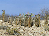 Meerkats (Suricates) (Suricata Suricatta)  Kalahari Gemsbok Park  South Africa  Africa