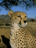 Cheetah (Acinonyx Jubatus) in Captivity  Namibia  Africa