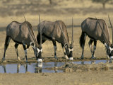 Gemsbok (Oryx) (Oryx Gazella) Drinking at Waterhole  Kalahari Gemsbok Park  South Africa  Africa