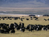 Yaks on Tibetan Pastures at 4000M  Sichuan Province  China