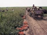 Harvesting Tomatoes  Cetate  Romania