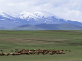 Flock of Sheep  Northeast Coast of Lake Van  Van Area  Anatolia  Turkey  Eurasia