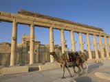 Boy on Camel in Front of the Great Colonnade  Palmyra  Unesco World Heritage Site  Syria