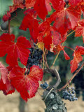 Vine in Autumn  St Emilion  Bordeaux  France