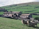 Sheep and Farm  Fox Up  Yorkshire  England  United Kingdom